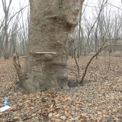 Giant Sycamore tree Washington county Iowa 36 acre forest for sale