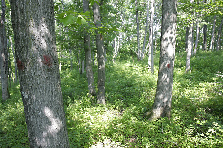 A picture of an Iowa forestland showing timber stand improvement.